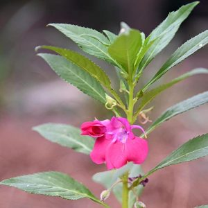 Flowering Balsam